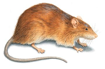 norway-rat-illustration_360x236